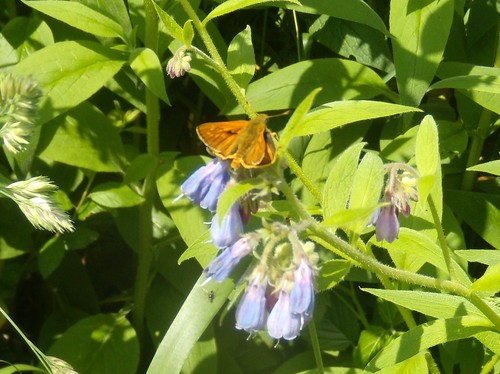 Little Skipper on comfrey