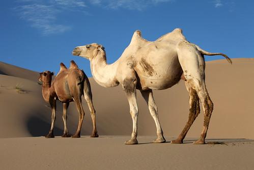 favorite sunrise dawn sand desert dune mongolia camel gobi