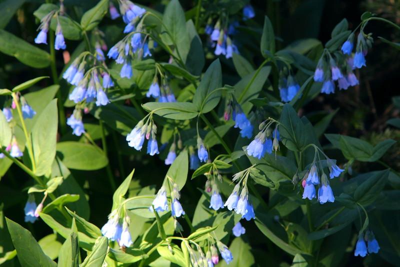 IMG_6389 Aspen Bluebell (Mertensia arizonica)