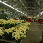Mahoney 39 S Christmas Garden Center Winchester Ma Poinsettia Displays In The Greenhouse Flickr