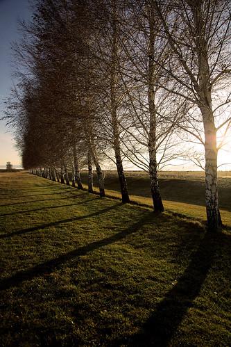 trees sunset shadow usa tree america unitedstates idaho american birch avenue backroom