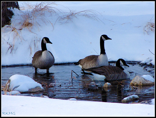 Canada Geese at Canyon Lake