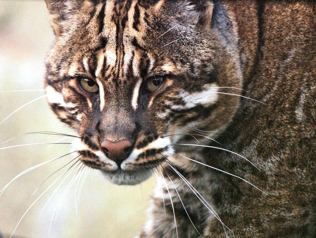 Картинки по запросу Азиатская кошка Темминка