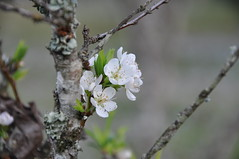 blossom, flower, branch, tree, flora, close-up, prunus spinosa, cherry blossom, spring, plant stem, twig,