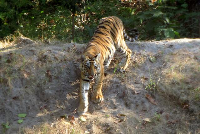 Tiger Climbing Down Tiger Cub Climbing Down a