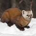 American Marten - Photo (c) SolidElectronics, some rights reserved (CC BY-NC)
