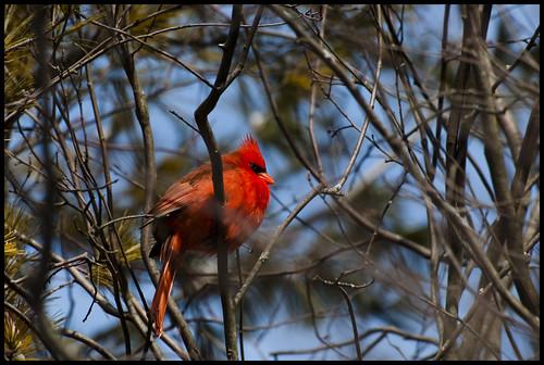 Guelph Cardinal by Jen St. Louis