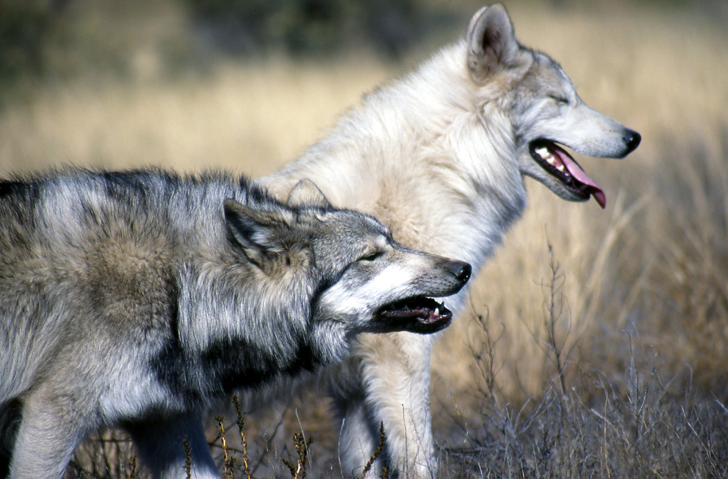 El que con lobos anda - ¿cómo aplica en el mundo emprendedor?