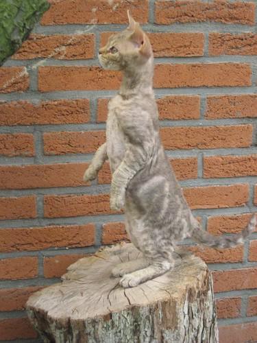 Selkirk Rex breed of cat