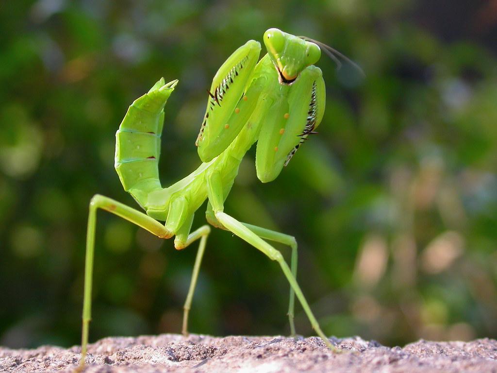 螳螂.Praying mantis - a photo on Flickriver