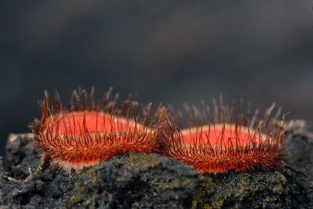 Eyelash Pixie Cups (Scutellinia scutellata)
