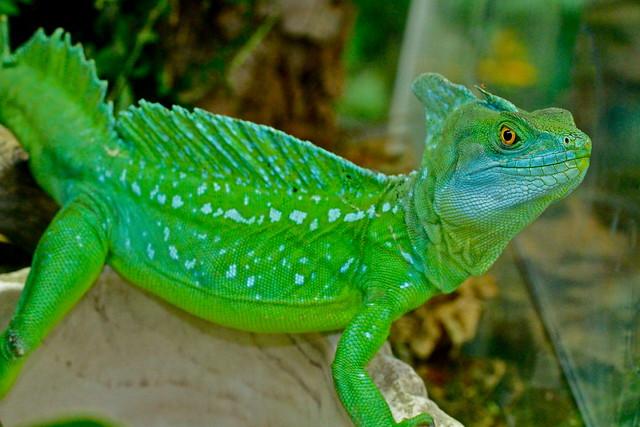 Green Basilisk Lizard* | Flickr - Photo Sharing!