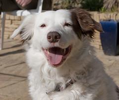 puppy(0.0), street dog(0.0), slovak cuvac(0.0), border collie(1.0), dog breed(1.0), animal(1.0), dog(1.0), pet(1.0), mammal(1.0), australian shepherd(1.0), great pyrenees(1.0),