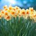 Daffodils Mean Spring!