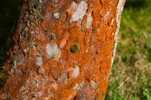 Reddish lichen