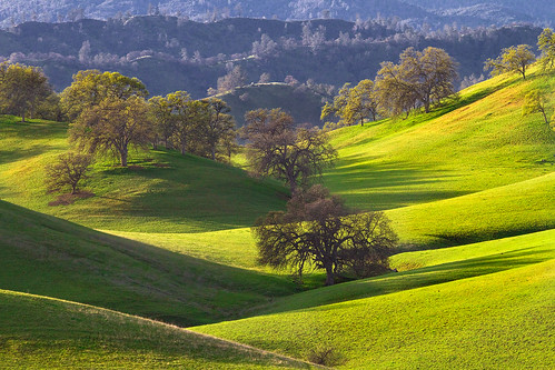california green grass northerncalifornia spring cattle cows hills pasture rolling grazing graze sacramentovalley