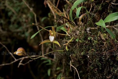 Cym tigrinum, Thailand