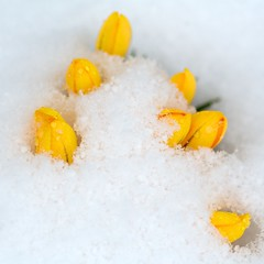 New Flowers Punching Through the Snow