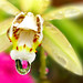 Droplet on a Coelogyne