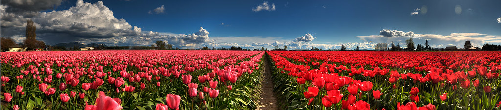 split tulip fields & clouds p6-hdr1