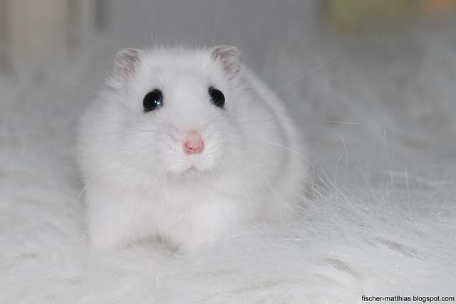 White Sweet Cute Baby Hamster Snorre