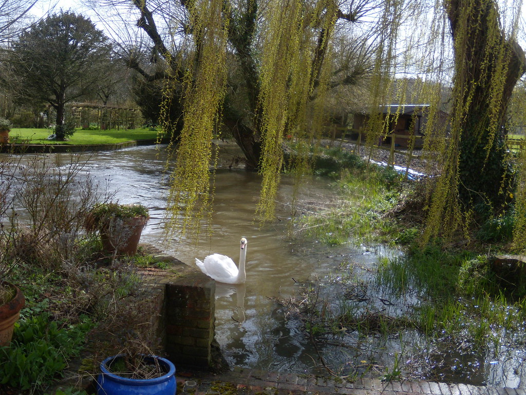Swan in Mill Pond Farnham Circular
