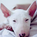 Don't wake me up! My dear bull terrier