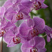 Bunch of small pink orchids against soft background