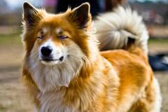 pet(0.0), scotch collie(0.0), finnish spitz(0.0), shetland sheepdog(0.0), dog breed(1.0), animal(1.0), dog(1.0), carnivoran(1.0), icelandic sheepdog(1.0),