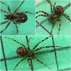 argiope(0.0), yellow garden spider(0.0), wolf spider(0.0), arthropod(1.0), animal(1.0), spider(1.0), araneus(1.0), organism(1.0), invertebrate(1.0), macro photography(1.0), european garden spider(1.0), fauna(1.0),