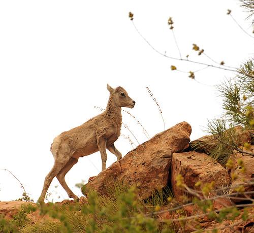 Desert Bighorn baby