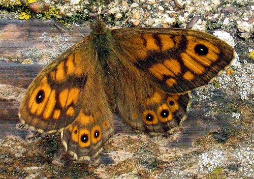 Wall Brown 4656