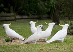 animal, pet, sulphur crested cockatoo, fauna, beak, bird, wildlife,