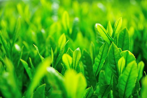Tea plantation_16