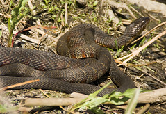 animal, serpent, snake, reptile, grass snake, fauna, viper, scaled reptile, wildlife,