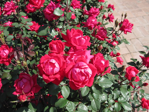 red double knockout roses at the San Antonio Botanical Garden