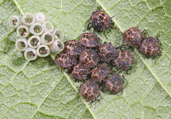 Rough Stink Bug nymphs