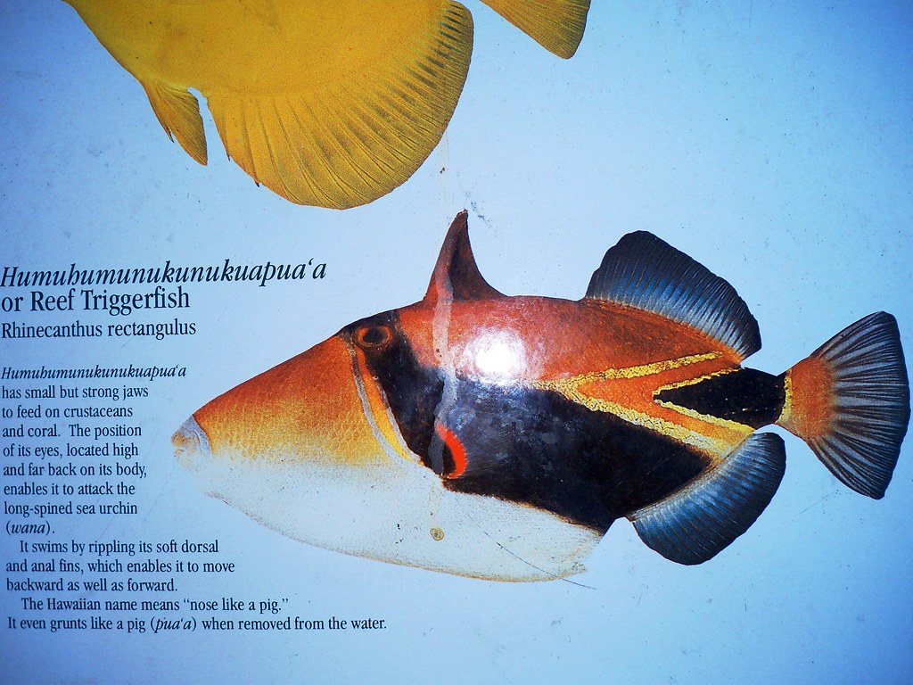 Reef triggerfish picture and description hawaii 39 s state for Hawaii state fish