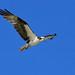 #133/365 - Osprey in flight by Greg B Newman