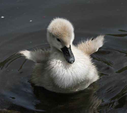 swanpinions / Talking about the cuteness of cygnets…