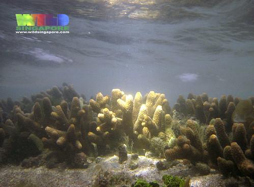 Acropora hard coral (Acropora sp.)