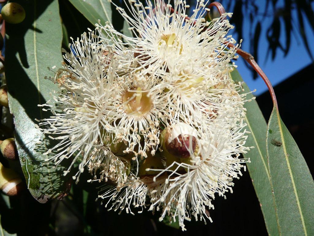 Corymbia citriodora = Eucalyptus citriodora. Flowers