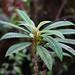 Cyrtandra longifolia