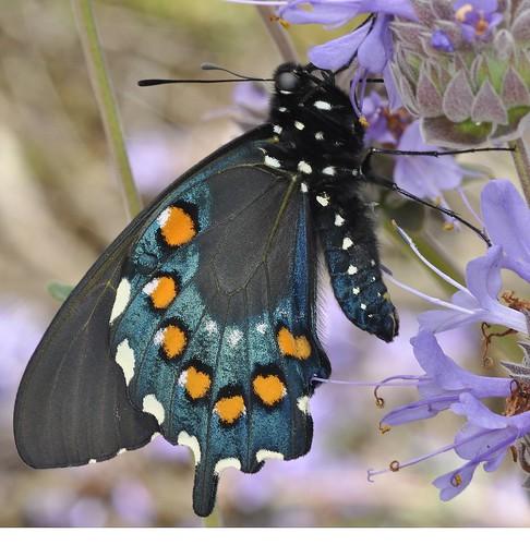 butterfly bravo ngc creative moment topshots specanimal top2020 swallowtailbutterflies macrolife natureselegantshots thebestofmimamorsgroups top20butterflyphotos bestofmywinners theoriginalgoldseal esenciadelanaturaleza photocontesttnc12
