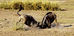 adventure(0.0), gemsbok(0.0), springbok(0.0), hartebeest(0.0), grazing(0.0), kudu(0.0), oryx(0.0), impala(0.0), gazelle(0.0), animal(1.0), prairie(1.0), wildebeest(1.0), plain(1.0), mammal(1.0), horn(1.0), herd(1.0), fauna(1.0), savanna(1.0), grassland(1.0), safari(1.0), wildlife(1.0),