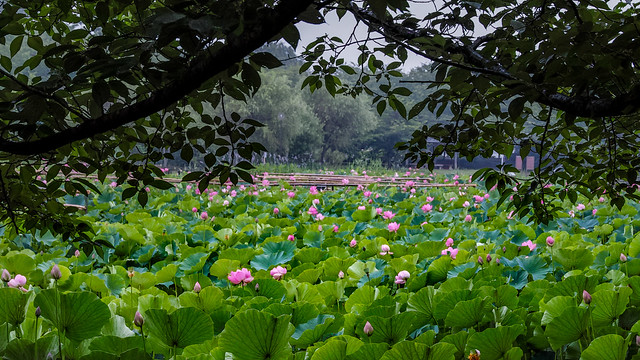 Lotus pond in a rainy day