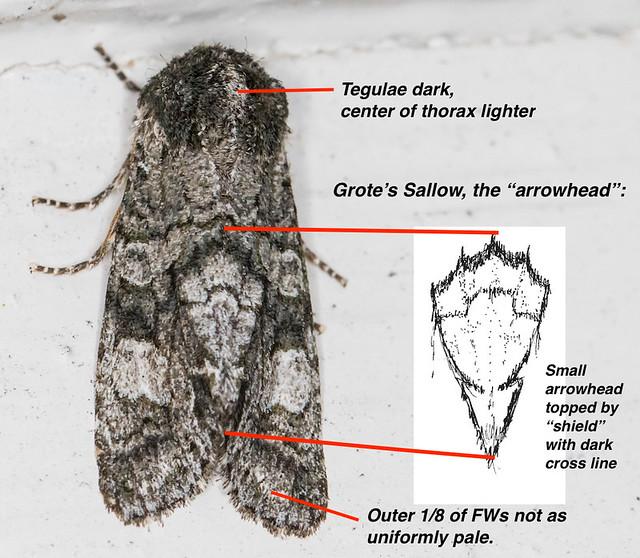 Grote's Arrowhead-highlighted