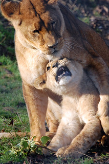 Linton Zoo: Lioness and cub