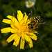 Fat bee gathering pollen from yellow dandelion