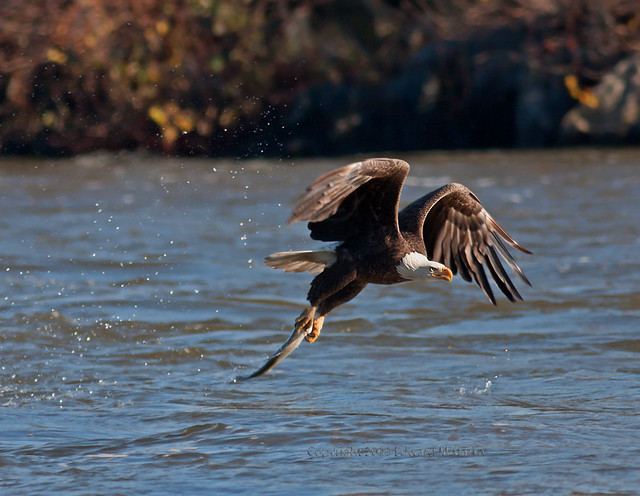 Bald Eagle Catching Fish http://www.flickr.com/photos/edmistarka/4287194176/